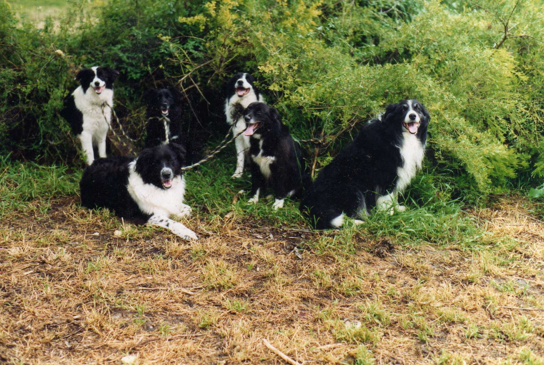 My adorable 6 boarder collies.